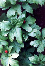 Goldenseal Plants